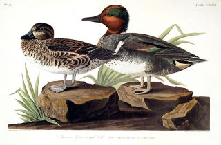 "American Green Winged Teal. From ""The Birds of America"" (Amsterdam Edition). John James AUDUBON."