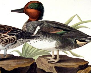 """American Green Winged Teal. From """"The Birds of America"""" (Amsterdam Edition)"""