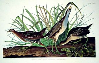 "Sora or Rail. From ""The Birds of America"" (Amsterdam Edition). John James AUDUBON"