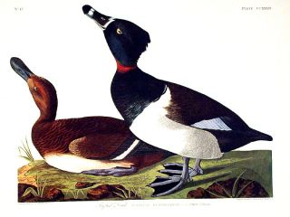 "Tufted Duck. From ""The Birds of America"" (Amsterdam Edition). John James AUDUBON"
