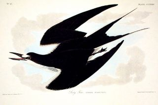 "Sooty Tern. From ""The Birds of America"" (Amsterdam Edition). John James AUDUBON."