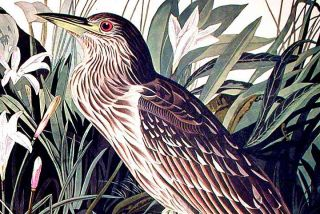 "Night Heron or Qua Bird. From ""The Birds of America"" (Amsterdam Edition)"