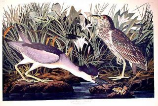 "Night Heron or Qua Bird. From ""The Birds of America"" (Amsterdam Edition). John James AUDUBON"