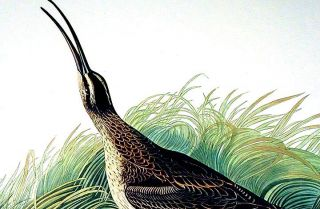 "Great Esquimaux Curlew. From ""The Birds of America"" (Amsterdam Edition)"