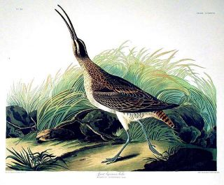 "Great Esquimaux Curlew. From ""The Birds of America"" (Amsterdam Edition). John James AUDUBON"
