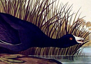 "American Coot. From ""The Birds of America"" (Amsterdam Edition)"