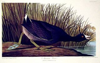 "American Coot. From ""The Birds of America"" (Amsterdam Edition). John James AUDUBON"