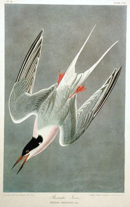 "Roseate Tern. Plate 240 from ""The Birds of America"" (Amsterdam Edition). John James AUDUBON"