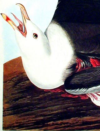 """Black-Backed Gull. From """"The Birds of America"""" (Amsterdam Edition)"""