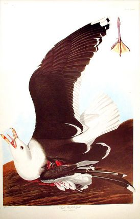 "Black-Backed Gull. From ""The Birds of America"" (Amsterdam Edition). John James AUDUBON."