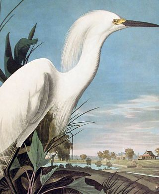 "Snowy Heron or White Egret. From ""The Birds of America"" (Amsterdam Edition)"