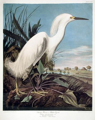 "Snowy Heron or White Egret. From ""The Birds of America"" (Amsterdam Edition). John James AUDUBON"