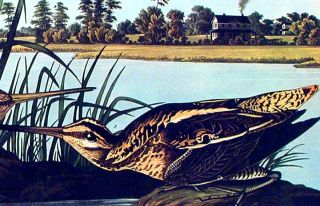 "American Snipe. From ""The Birds of America"" (Amsterdam Edition)"