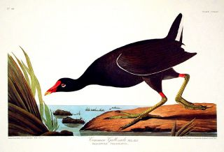 "Common Gallinule. From ""The Birds of America"" (Amsterdam Edition). John James AUDUBON"