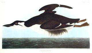 "Uria Brunnichii [Large-billed Guillemot]. From ""The Birds of America"" (Amsterdam Edition). John..."