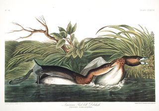 "American Pied-bill Dobchick. From ""The Birds of America"" (Amsterdam Edition). John James AUDUBON."