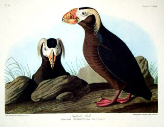 "Tufted Auk. From ""The Birds of America"" (Amsterdam Edition). John James AUDUBON."