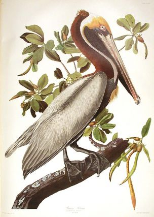 "Brown Pelican. From ""The Birds of America"" (Amsterdam Edition). John James AUDUBON"