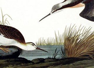 "Wilson's Phalarope. From ""The Birds of America"" (Amsterdam Edition)"