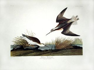 "Wilson's Phalarope. From ""The Birds of America"" (Amsterdam Edition). John James AUDUBON"