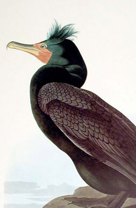 """Double-crested Cormorant. From """"The Birds of America"""" (Amsterdam Edition)"""