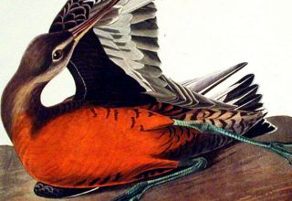 """Hudsonian Godwit. From """"The Birds of America"""" (Amsterdam Edition)"""