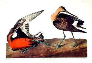 "Hudsonian Godwit. From ""The Birds of America"" (Amsterdam Edition). John James AUDUBON"