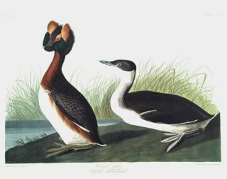 "Horned Grebe. From ""The Birds of America"" (Amsterdam Edition). John James AUDUBON"