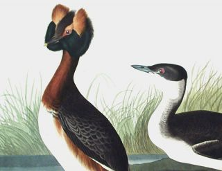 "Horned Grebe. From ""The Birds of America"" (Amsterdam Edition)"