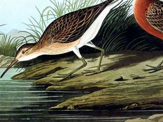 """Pigmy Curlew. From """"The Birds of America"""" (Amsterdam Edition)"""