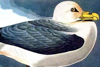 "Fulmar Petrel. From ""The Birds of America"" (Amsterdam Edition)"