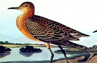 """Buff breasted Sandpiper. From """"The Birds of America"""" (Amsterdam Edition)"""