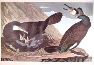 "Common Cormorant. From ""The Birds of America"" (Amsterdam Edition). John James AUDUBON."