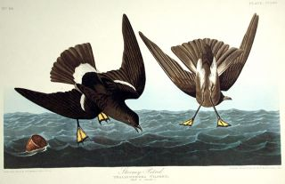 "Stormy Petrel. From ""The Birds of America"" (Amsterdam Edition). John James AUDUBON."