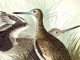 "Semipalmated Snipe or Willet. From ""The Birds of America"" (Amsterdam Edition)"