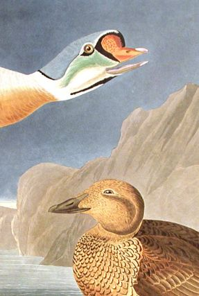 """King Duck. From """"The Birds of America"""" (Amsterdam Edition)"""