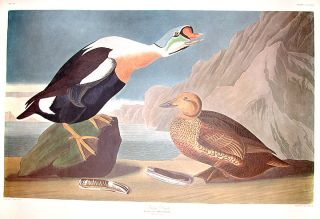 "King Duck. From ""The Birds of America"" (Amsterdam Edition). John James AUDUBON"