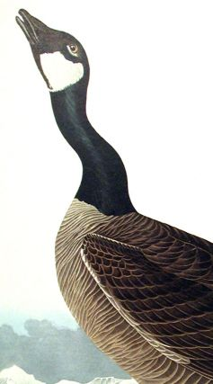 """Hutchins's Barnacle Goose. From """"The Birds of America"""" (Amsterdam Edition)"""