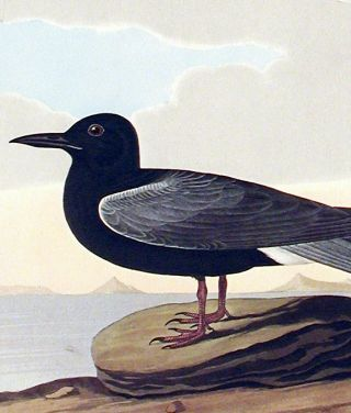 """Black Tern. From """"The Birds of America"""" (Amsterdam Edition)"""