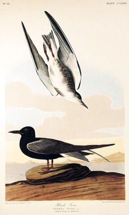 "Black Tern. From ""The Birds of America"" (Amsterdam Edition). John James AUDUBON."