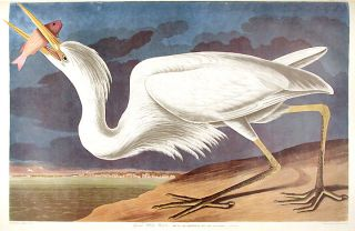 "Great White Heron. From ""The Birds of America"" (Amsterdam Edition). John James AUDUBON"