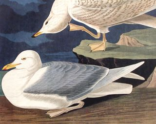"White-winged Silvery Gull. From ""The Birds of America"" (Amsterdam Edition)"
