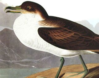 "Wandering Shearwater. From ""The Birds of America"" (Amsterdam Edition)"