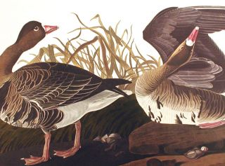 "White-fronted Goose. From ""The Birds of America"" (Amsterdam Edition)"