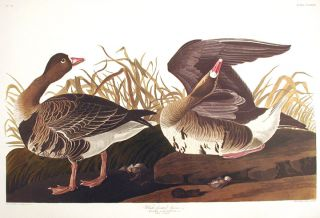 "White-fronted Goose. From ""The Birds of America"" (Amsterdam Edition). John James AUDUBON"