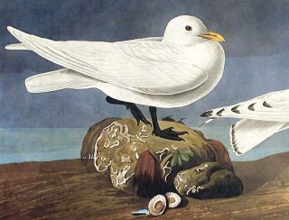 "Ivory Gull. From ""The Birds of America"" (Amsterdam Edition)"