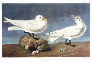 "Ivory Gull. From ""The Birds of America"" (Amsterdam Edition). John James AUDUBON."
