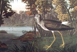"""Yellow Shank. From """"The Birds of America"""" (Amsterdam Edition)"""