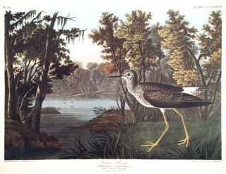 "Yellow Shank. From ""The Birds of America"" (Amsterdam Edition). John James AUDUBON."