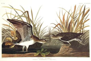 "Solitary Sandpiper. From ""The Birds of America"" (Amsterdam Edition). John James AUDUBON."